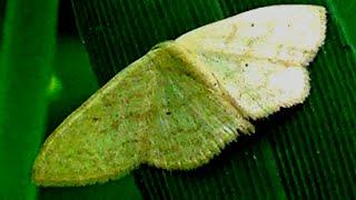 Genus Scopula Moth Video
