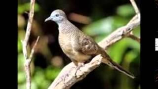 Kicau Burung Perkutut Juara 1 Nasional