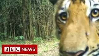 Hidden cameras capture Thai tigers  - BBC News