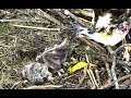 Breakfast (with bonking!) at Chesapeake Ospreys. 09.15 / 04 June 2018
