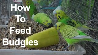 How to Feed Budgies