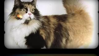 Самые красивые породы кошек. Отгадайте!