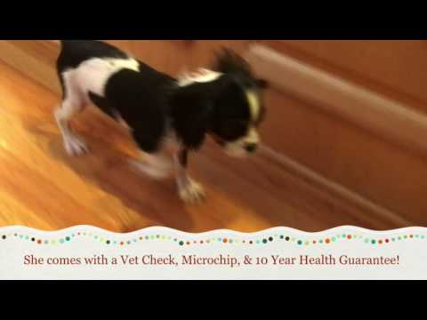 Cavalier King Charles Spaniel Puppies For Sale In Greensboro North Carolina