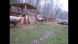 овечка выращенная собаками(, 2014-03-29T13:57:35.000Z)