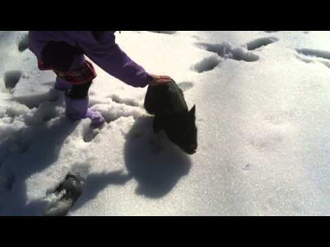 Mini pig walking backwards in the snow