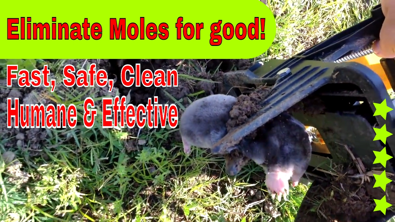 How To Remove Moles In My Yard Kill Catch Pest Control Trap Git Rid Of