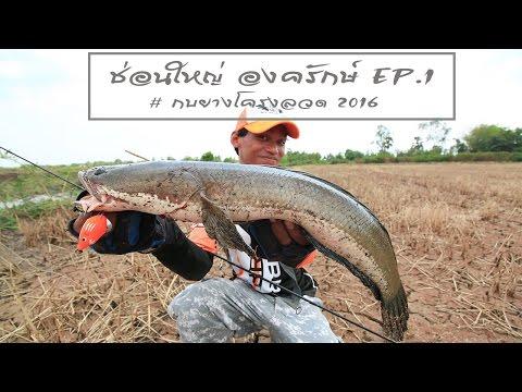 ตกปลา2559 # ช่อน องครักษ์EP.1 #snakehead fishing tips