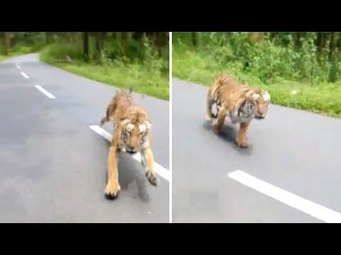 Luis Treviño - WOW: Tigre Persigue Dos Hombres En Moto!