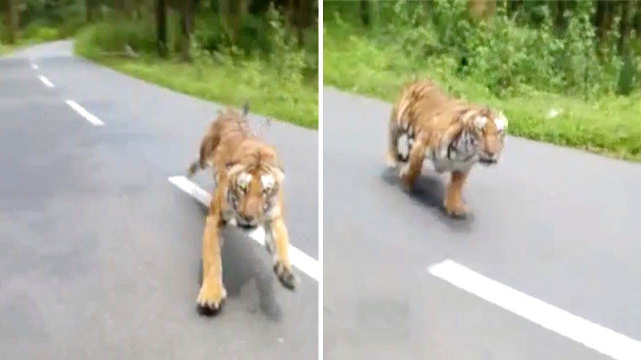 Tiger Attacks Motorbike Youtube