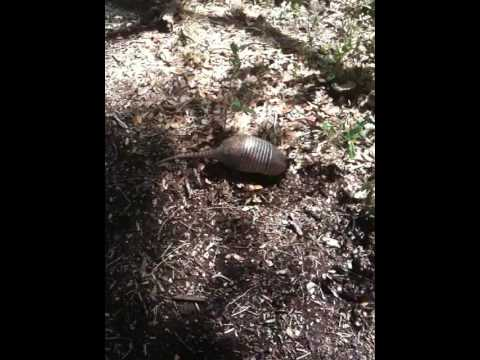 How to catch an armadillo the easy way - YouTube