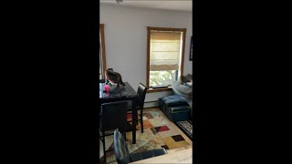 Cat Jumps at Window Trying to Chase a Pigeon