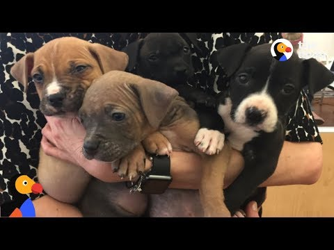 adoptable pit bull mix puppies play and nap the dodo live youtube