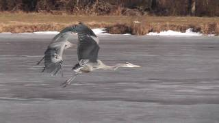 Great Blue Herons fight - Sea Gull got her fish back