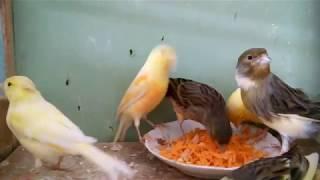 КаНаРеЙкИ-полезные хитрости осеннего кормления весенних канареек. Супер каша для здоровья и окраса!