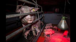Getreten, misshandelt, totgeschlagen: Aktuelle Aufnahmen aus dem Schweinehochhaus