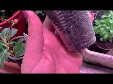 Вопрос: Почему до появления ребенка растения гибли, а после перестали вянуть?