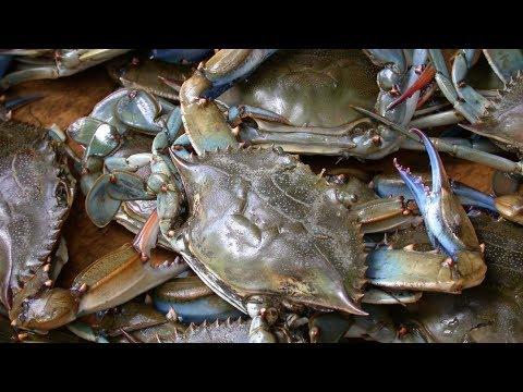 Berburu kepiting laut hidup di pantai NUSA DUA BALI