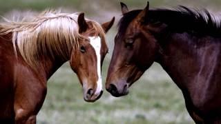 Порода лошади. Мустанг.Редкая лошадь,занесенная в заповедник.