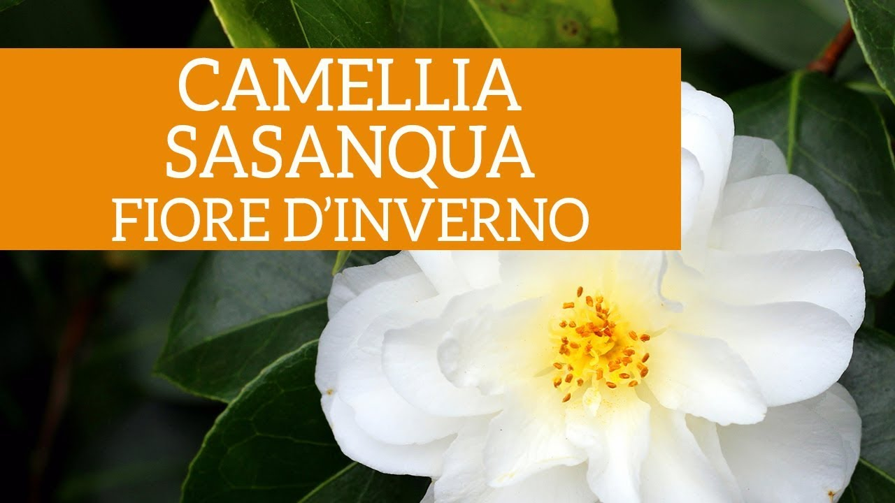 Calicanto Fiore D Inverno camellia sasanqua, fiore d'inverno