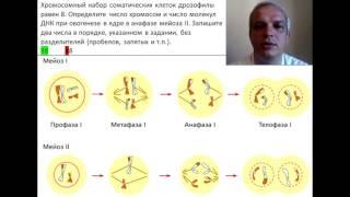 Хромосомный набор соматических клеток дрозофилы равен 8