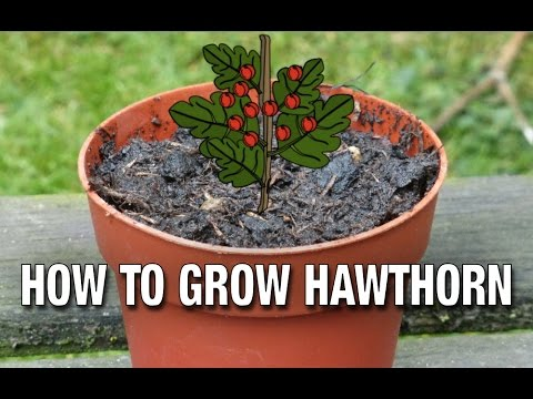 How to Grow a Hawthorn from Seed