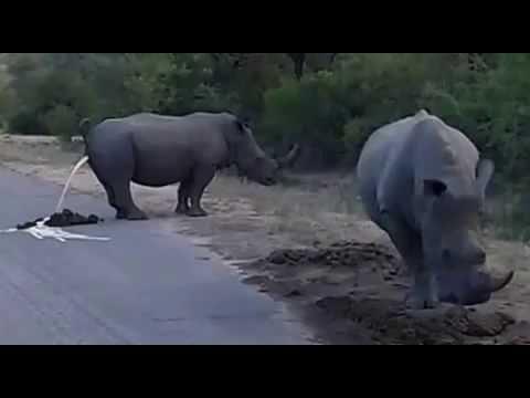 Rhinoceros Kruger Park