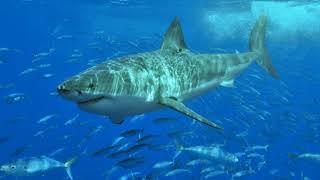 Акулы (рассказывает палеонтолог Ярослав Попов)