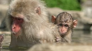 【SNOW MONKEY】ニホンザル / 地獄谷野猿公苑 ☆Cute Baby Growth 1☆ Season in the Sun