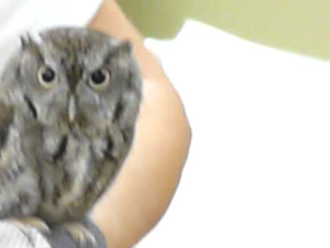 Adorable Baby Owl (in Rehab)