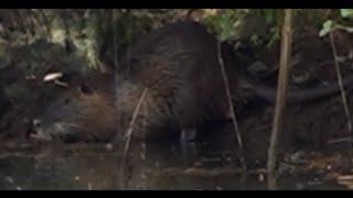 Ardèche - Le ragondin