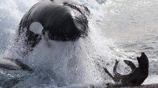 Killer Whales hunt seals - Fascinating facts in the wild thumbnail