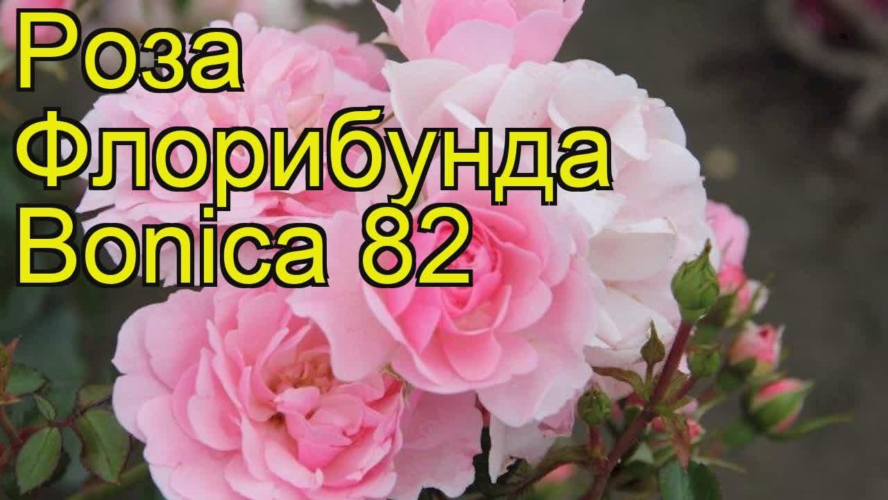 Роза чайно-гибридная Софи Лорен (sophia loren) 🌿 обзор: как .