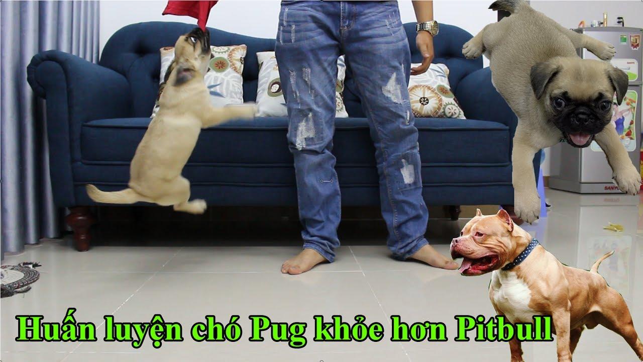 Pugk: Huấn luyện chó Pug khỏe hơn Pitbull - Chó Pug khỏe nhất Việt Nam là  đây - YouTube