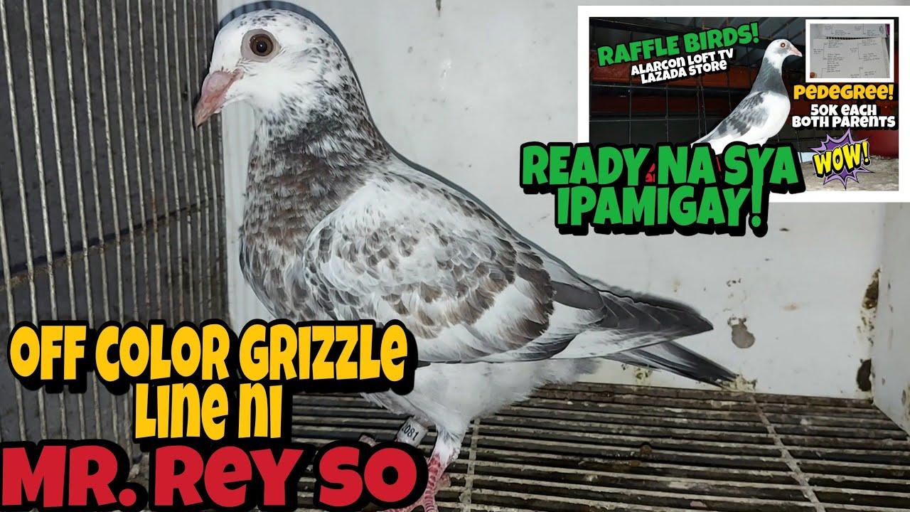 GRIZZLE BIRDS, KAKAIBANG OFFCOLOR NA KALAPATI, MAGKANO KAYA ISA NITO, MURA LANG MAY SUKLI PA!