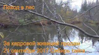 Поход в лес за кедровой живицей смолой залазим на кедры 21 сентября 2017 выживание в дождь Сибирь та