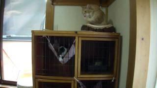 ゲージの中の子猫に威嚇する大人猫
