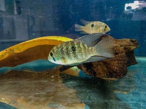Hunt for the Blue Acara - YouTube