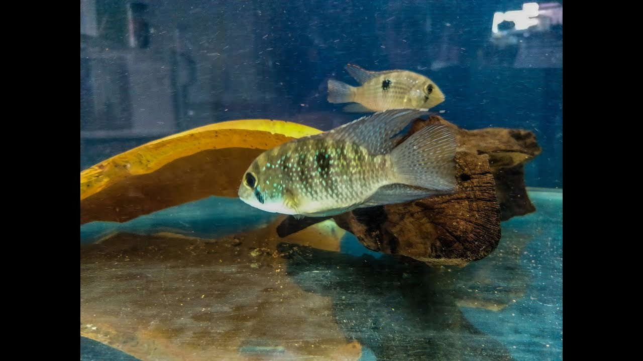 Hunt for the Blue Acara