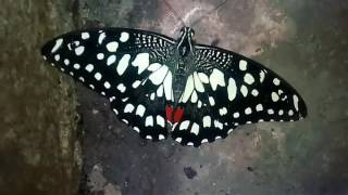 Butterfly  boomerang gif