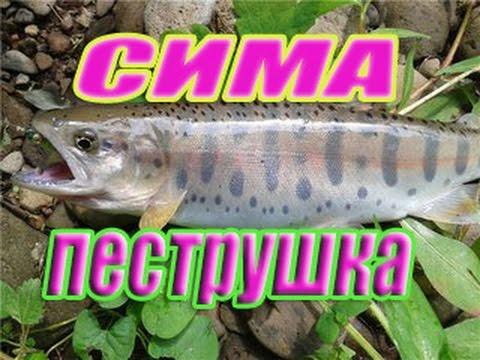 Рыба Приморского края -  часть 2.  Нерест симы и появление пеструшки.