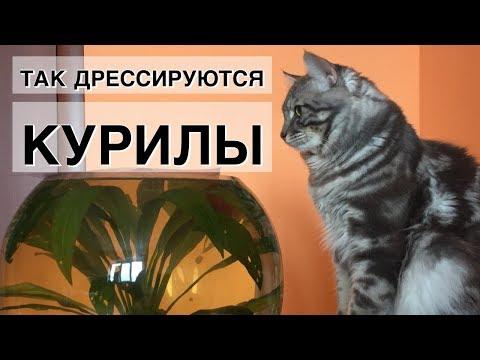 дрессировка Курильского Бобтейла. Результат команды «нельзя».