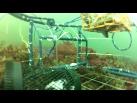 Puget Sound (Solo Point) underwater crabbing