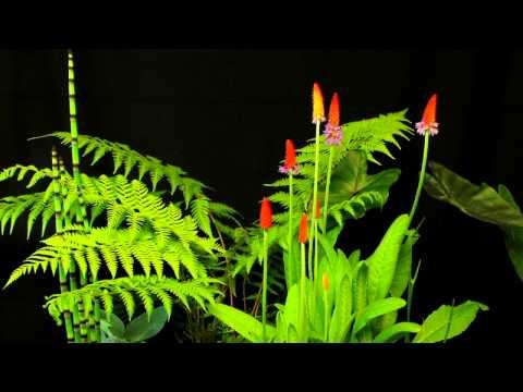 Time laps flower PRIMULA VIALI: Pépinières de Kervouric