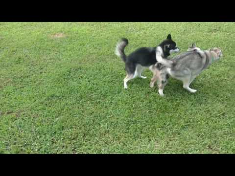 Klee Kai and Mini Aussie pup playing