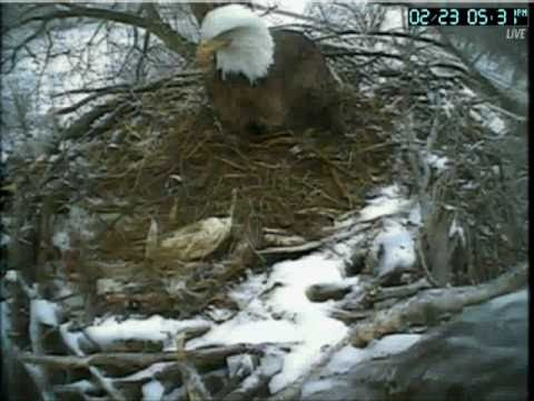 Decorah Bald Eagles FIRST EGG LAID 02/23/11 Raptor Resource Project Excel