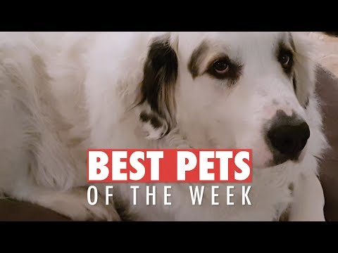 The Goodest Pets Of The Week - Video