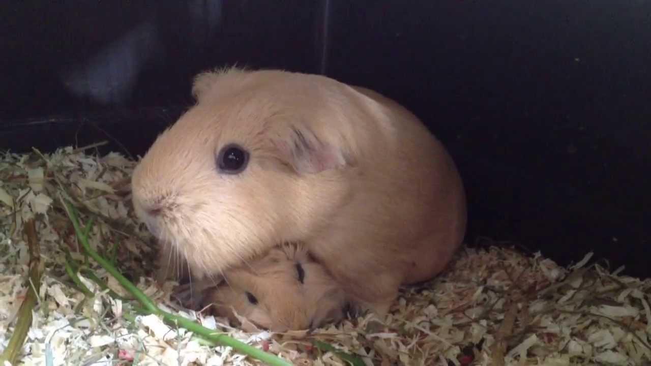Meerschweinchen-Baby eine Stunde alt ! - YouTube