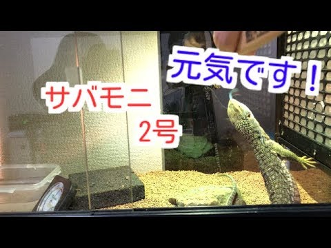 【サバンナモニター】2号も食べるよ!【ぴぴんap】
