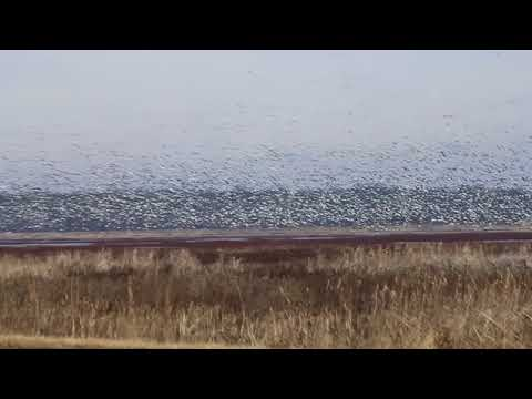 Snow Geese At Goose Pond Fish And Wildlife Area