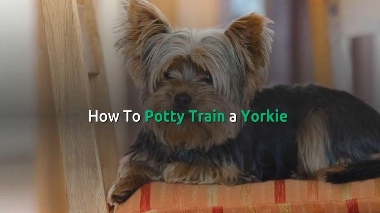 Yorkie Potty Training Yorkshire Terrier Training Toilet How